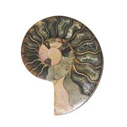 fossile Nautilus